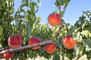 Peaches Ready to Harvest